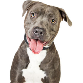 Friendly grey color Pit Bull breed dog closeup over white. Looking into camera with happy smiling expression.