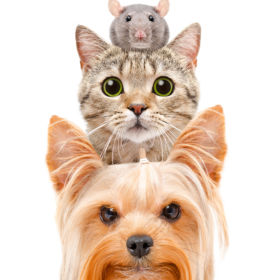 Funny portrait of a dog, a cat and a rat, Isolated on white background
