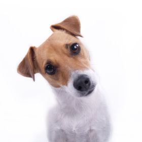Jack Russell Terrier looking directly at camera with interested look; emphasis on dog's face and gaze